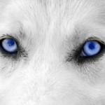 Gros plan sur une paire d'yeux de chien