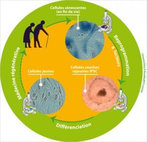 Reprogrammation cellulaire