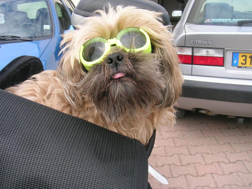 lunettes pour chien